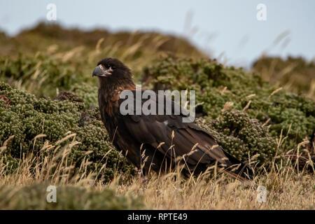 Striated Caracara, Phalcoboenus australis, Falkland Islands - Stock Photo