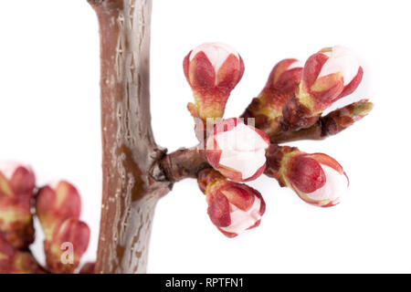 Apricot buds on a branch close-up isolated on white background - Stock Photo