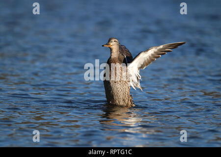 A hen mallard duck Anas platyrhynchos flapping her wings on a blue lake - Stock Photo