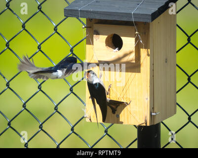 A male tree swallow (Tachycineta bicolor) defends his nestbox and nestlings from a takeover from another tree swallow.  Beaumont, Alberta, Canada. - Stock Photo