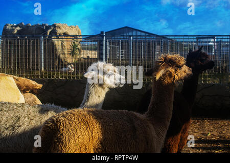 The Three Alpacas. Three differently colored Alpacas in Malta. - Stock Photo