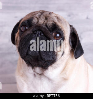 Dog pug close-up with sad brown eyes. Portrait on a white background - Stock Photo