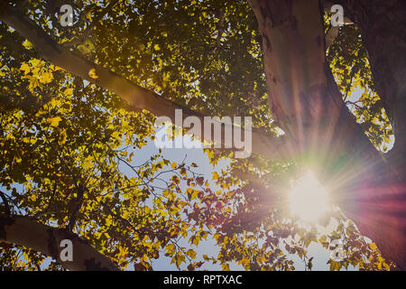 sun shines bright and colorful through branches of a maple tree - Stock Photo