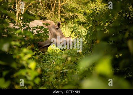 A White Rhinoceros (Ceratotherium simum) grazing in amongst the bushes at Ziwa Rhino Sanctuary in Uganda - Stock Photo