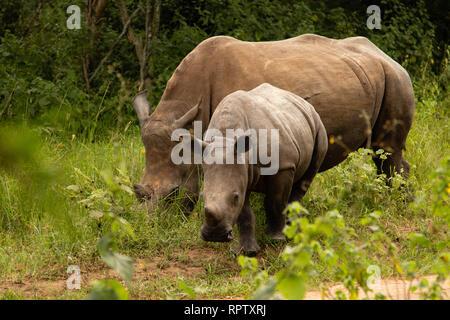 Two White Rhinoceroses (Ceratotherium simum) grazing and looking towards the camera at Ziwa Rhino Sanctuary in Uganda - Stock Photo