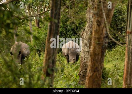 Two White Rhinoceroses (Ceratotherium simum) grazing in amongst the trees at Ziwa Rhino Sanctuary in Uganda - Stock Photo