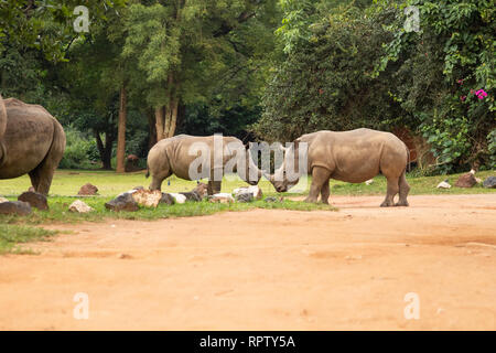 A group of female White Rhinos grazing with their calves (Ceratotherium simum) at Ziwa sanctuary in Uganda - Stock Photo