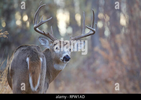 Whitetail Deer - a large antlered  buck looks back over its shoulder in a hardwood forest - Stock Photo