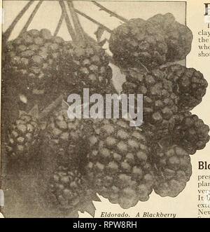 . Allen's book of berries : 1916. Nurseries (Horticulture) Maryland Salisbury Catalogs; Nursery stock Maryland Salisbury Catalogs; Strawberries Maryland Salisbury Catalogs. 28 THE IV. F. ALLEN CO,, SALISBURY, MD.. BLACKBERRIES Blowers. The best soil for Blackberries is a strong clay loam that will retain moisture, though the plants will grow and thrive almost any- where if planted in fertile soil. The plants should be set in rows 5 to 6 feet apart, and 3 feet apart in the rows. The cultivation should be shallow, and three good canes only should be permitted to grow in each hill. After fruiting - Stock Photo