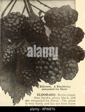 . Allen's book of berries : 1915. Nurseries (Horticulture) Maryland Salisbury Catalogs; Nursery stock Maryland Salisbury Catalogs; Strawberries Maryland Salisbury Catalogs. TRUE-TO-NAME SMALL-FRUIT PLANTS BLACKBERRIES The best soil for Blackberries is a strong clay loam that will retain moisture, though the plants will grow and thrive almost anywhere if planted in fertile soil. The plants should be set in rows 5 to 6 feet apart and 3 feet in the rows. The cul- tivation should be shallow, and three good cants only should be permitted to grow in each hill. After fruiting cut out the old canes an - Stock Photo
