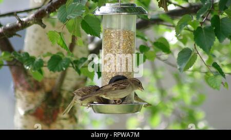 Female House Sparrows (Passer domesticus) Feeding on a Garden Bird Feeder Suspended in a Birch Tree. Abernethy, Perthshire, Scotland, UK. - Stock Photo