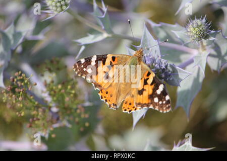 Painted Lady (Vanessa cardui) visiting the lilac flowers of a Sea Holly (Eryngium maritimum) on the island of Wangerooge, Germany - Stock Photo