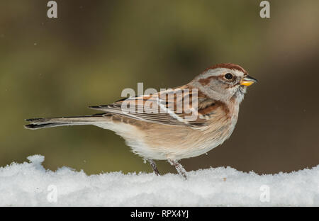 zoology / animals, avian / bird (aves), American Tree Sparrow (Spizella arborea) in winter near Thornt, Additional-Rights-Clearance-Info-Not-Available - Stock Photo