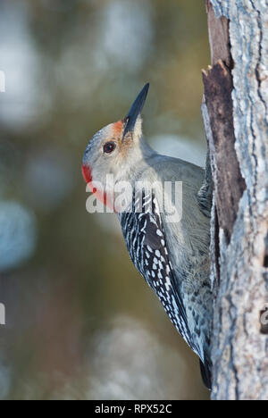 zoology / animals, avian / bird (aves), Female Red-bellied Woodpecker (Melanerpes carolinus) in winter, Additional-Rights-Clearance-Info-Not-Available - Stock Photo
