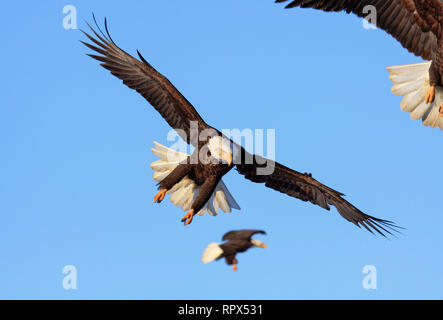 zoology / animals, birds (Aves), American eagle, Haliaeetus leucocephalus, Alaska, USA, Additional-Rights-Clearance-Info-Not-Available - Stock Photo