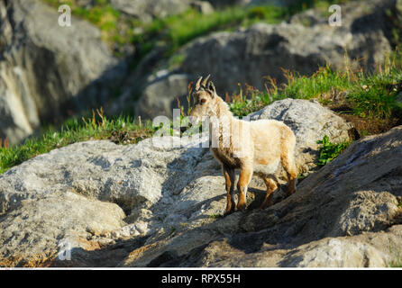 zoology / animals, mammal / mammalian, Alpine ibex (Capra ibex), Additional-Rights-Clearance-Info-Not-Available - Stock Photo