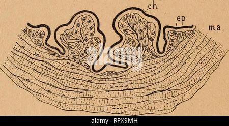 . Aliments, chitine et tube digestif chez les coléoptères. Beetles; Insects. 200 DKUXIEME PARTIE autres fibres musculaires s'entrecroisent et s'anastomosent par leurs extrémités, où la striation transversale disparaît; quel- ques-unes paraissent s'incurver pour aller se terminer à la cuticule. Les six faisceaux musculaires ainsi placés bout à bout se contractent indépendamment les uns des autres, ainsi qu'on jDeut le constater par les déformations péristaltiques du rectum sur l'animal vivant ; la ligne suivant laquelle se joignent et s'entrecroisent les fibres de deux faisceaux voisins, foncti - Stock Photo