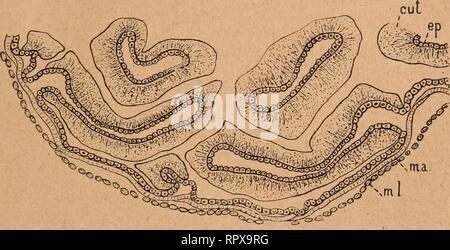 . Aliments, chitine et tube digestif chez les coléoptères. Beetles; Insects. MORPHOLOGIE DU TUBE DIGESTIF 18.') L'aspect de l'organe, étudié ainsi par sa lace interne, est des plus caractéristiques. Une coupe transversale (fig. 38) rencontre les replis en diverses directions et montre des dispositions qui seraient difli- cilement coinf>réliensibles sans l'étude macroscopique préala- ble que nous venons d'en faire. La paroi externe est formée par les mêmes cellules épithéliales que le reste de l'intestin grêle ;. Fis»'. 38. — Dilntalion de l'inlt^stin grêle de MeJoIontlia imlgcivls, portion  - Stock Photo