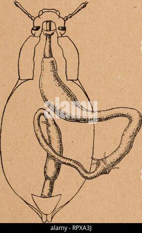 . Aliments, chitine et tube digestif chez les coléoptères. Beetles; Insects. MORPHOLOGIE DU TUBE DIGKSTIF 145 Herbivores / Melanotus punctolineatus 0,66 Geotrupes stercorarius 0,71 Hydroiis piceiis 0,76 Geotrupes mutator . 0,95 Timarcha coriaria 0,89 Melolontha vulgaris 1,20 Blaps miicronata 1,26 Dorcadion fuliginator i,43 Otiorynchiis Ligiistici 2,11  Hylobius abietis 2,86 La comparaison des deux groupes montre bien vite que lin- testin antérieur est généralement beaucoup plus long chez les. Please note that these images are extracted from scanned page images that may have been digitally enh - Stock Photo