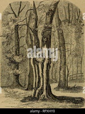 . Album der Natuur. — 148 wij iets anders waar, waardoor zijn vorm geheel afwijkt, niet alleen van dien van andere lindeboomen, maar ook van de overige boomen , die ons bekend zijn. Het schijnt als of zijn stam bestaat niet uit éénen,. maar uit drie stammen, die elkander op eene zekere hoogte ontmoeten, en nu te zameii vereenigd slechts eenen enkelen stam vormen, waaruit dan de bebladerde takken hunnen oorsprong nemen. Bij eene nadere beschouwing blijkt echter deze eerste opvatting onjuist te zijn, want indien wij ons aan de andere zijde des booms begeven, dan ontwaren. Please note that these  - Stock Photo