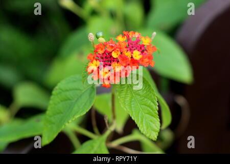 Umbelanterna or Lantana camara or Big sage or Wild sage or Red sage or White sage or Tickberry or West Indian lantana plant - Stock Photo
