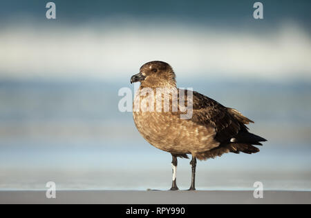 Falkland skua standing on a sandy coast by Atlantic ocean in Falkland islands. - Stock Photo