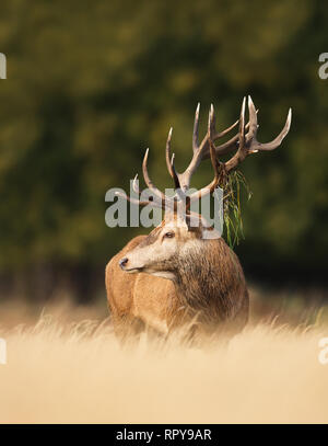 Close up of a Red deer stag with vegetation on antlers during rutting season in autumn, UK. - Stock Photo