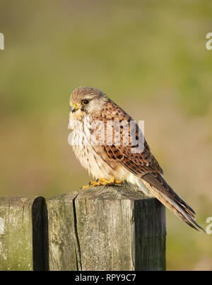 Close up of a common kestrel (Falco tinnunculus) perched on a wooden post against colorful background, UK. - Stock Photo