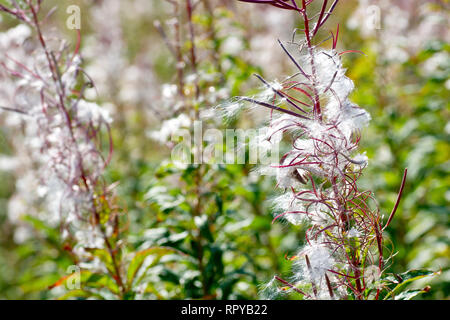 Rosebay Willowherb (epilobium angustifolium, also chamerion or chamaenerion angustifolium), a backlit close up of the plant in seed. - Stock Photo