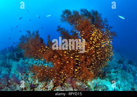 Coral Reef with Black Coral (Antipathes dichotoma) and Swarm Anthias (Anthiinae), Red Sea, Egypt - Stock Photo