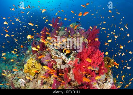 Coral reef, reef block overgrown with Klunzinger's Soft Corals (Dendronephthya klunzingeri) and various stone corals - Stock Photo