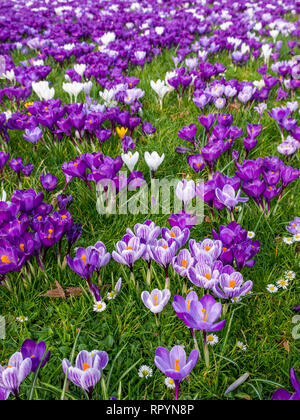 North Berwick, East Lothian, Scotland, United Kingdom, 23rd February 2019. UK Weather: Spring crocus display weeks before the official start of Spring which occurs on March 20th - Stock Photo