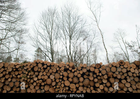 Flechtlingen, Germany. 21st Feb, 2019. Pine trunks are stacked several meters high. The trees had been infested by pests and were cleared to counteract mass propagation of the pests. The foresters of the Landeszentrum Wald Sachsen-Anhalt attribute the damage to the coniferous forests to the drought in 2018. After the sick trees have been cleared, they are to be reforested with climate-resistant and site-suitable tree species. Credit: Klaus-Dietmar Gabbert/dpa-Zentralbild/ZB/dpa/Alamy Live News - Stock Photo