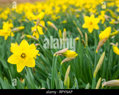 North Berwick, East Lothian, Scotland, United Kingdom, 23rd February 2019. UK Weather: Spring daffodils in warm weather weeks before the official start of Spring which occurs on March 20th - Stock Photo