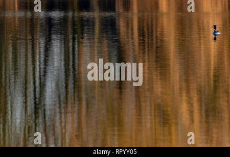 Watermead, Leicestershire, UK. 23rd February, 2019. Leicester Watermead nature reserve 23th Febuary 2019: Mild warm late afternoon, golden water reflections Great crested grebe swims. Clifford Norton Alamy. Credit: Clifford Norton/Alamy Live News - Stock Photo