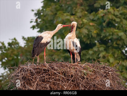 Pair of family of male and female White storks grooming each other on the nest - Stock Photo