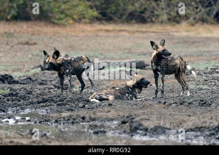 zoology, mammal (mammalia), African wild dog (Lycaon pictus) at the Kanga waterplace, Manah Pools Nati, Additional-Rights-Clearance-Info-Not-Available - Stock Photo