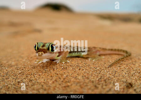 zoology, reptile (Reptilia), Namib sand gecko, web-footed gecko or Namib sand gecko (Pachydactylus ran, Additional-Rights-Clearance-Info-Not-Available - Stock Photo