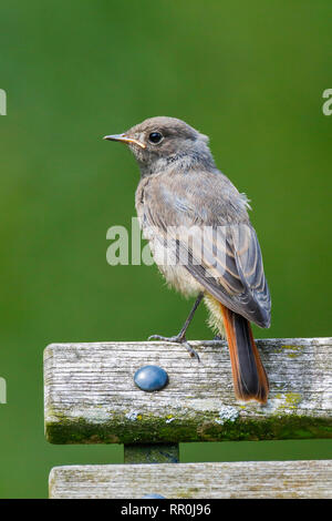zoology, birds (Aves), Black Redstart, Phoenicurus ochruros, Switzerland, Additional-Rights-Clearance-Info-Not-Available - Stock Photo