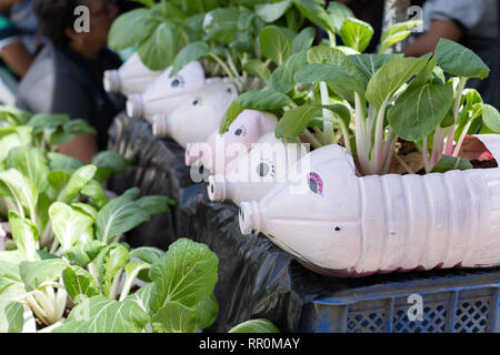Plastic containers painted in the design of a pig reused for growing Pok Choy plants. - Stock Photo