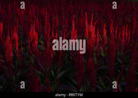 Red Cockscomb Flowers or Chinese Wool Flowers,  beautiful flower blooming in the garden in morning time with sunshine - Stock Photo