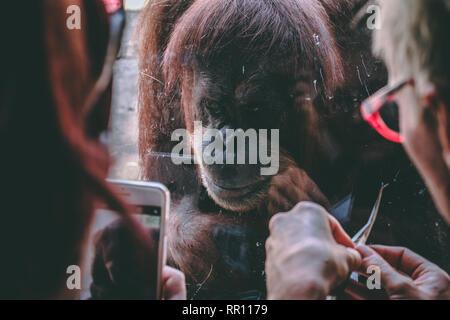 Orangutan in Melbourne Zoo, Australia Stock Photo