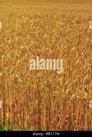 A wheat field at harvest in Kansas Photo by Dennis Brack - Stock Photo