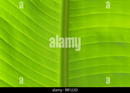 Close-up detail of fresh green banana leaf in horizontal view showing primary and secondary veins in back light. - Stock Photo