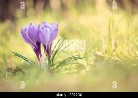 Spring Purple Crocus flowers in grass in Spring - Stock Photo