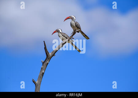 zoology, birds (Aves), Red-billed Hornbill (Tockus erythrorhynchus), Savuti, Chobe National Park, Bots, Additional-Rights-Clearance-Info-Not-Available - Stock Photo