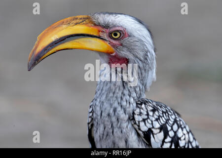zoology, birds (Aves), Southern yellow-billed hornbill (Tockus leucomelas), Savuti, Chobe National Par, Additional-Rights-Clearance-Info-Not-Available - Stock Photo