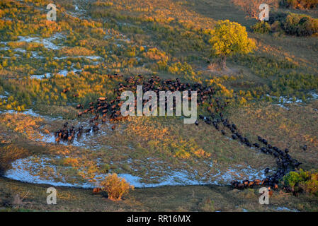 zoology, mammal (mammalia), Cape buffalo flock or African buffalo (Syncerus caffer), aerial photograph, Additional-Rights-Clearance-Info-Not-Available - Stock Photo