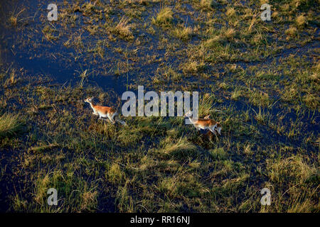 zoology, mammal (mammalia), red lechwe or lechwe antelope (Kobus leche leche), aerial photograph, Gomo, Additional-Rights-Clearance-Info-Not-Available - Stock Photo