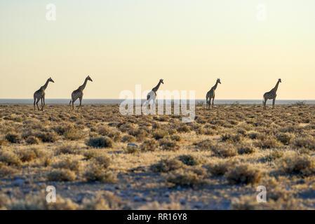 zoology, mammal (mammalia), Angola giraffes (Giraffa camelopardalis angolensis), next to Namutoni, Eto, Additional-Rights-Clearance-Info-Not-Available - Stock Photo